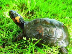glyptemys-muhlenbergii-bog-turtle-reptile_w725_h547