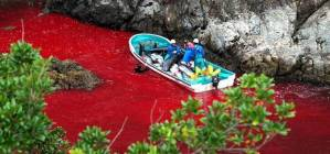 Photo from Jan. 21, 2014 Irish Independent story:  Rivers of blood: Japan defends 'lawful' slaughter of dolphins as hunters prepare to kill 200 animals