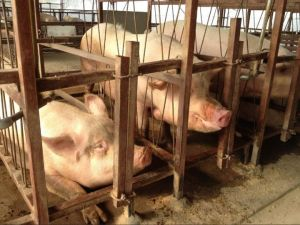 Extreme confinement = extreme suffering!  Gestation crates on a swine farm where sows aren't able to turn around and often can't lie down comfortably for months at a time. (Humane Society International)